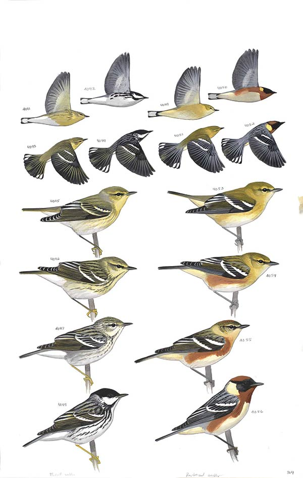 Blackpoll Warbler and Bay-breasted Warbler from The Sibley Guide to Birds, 2014