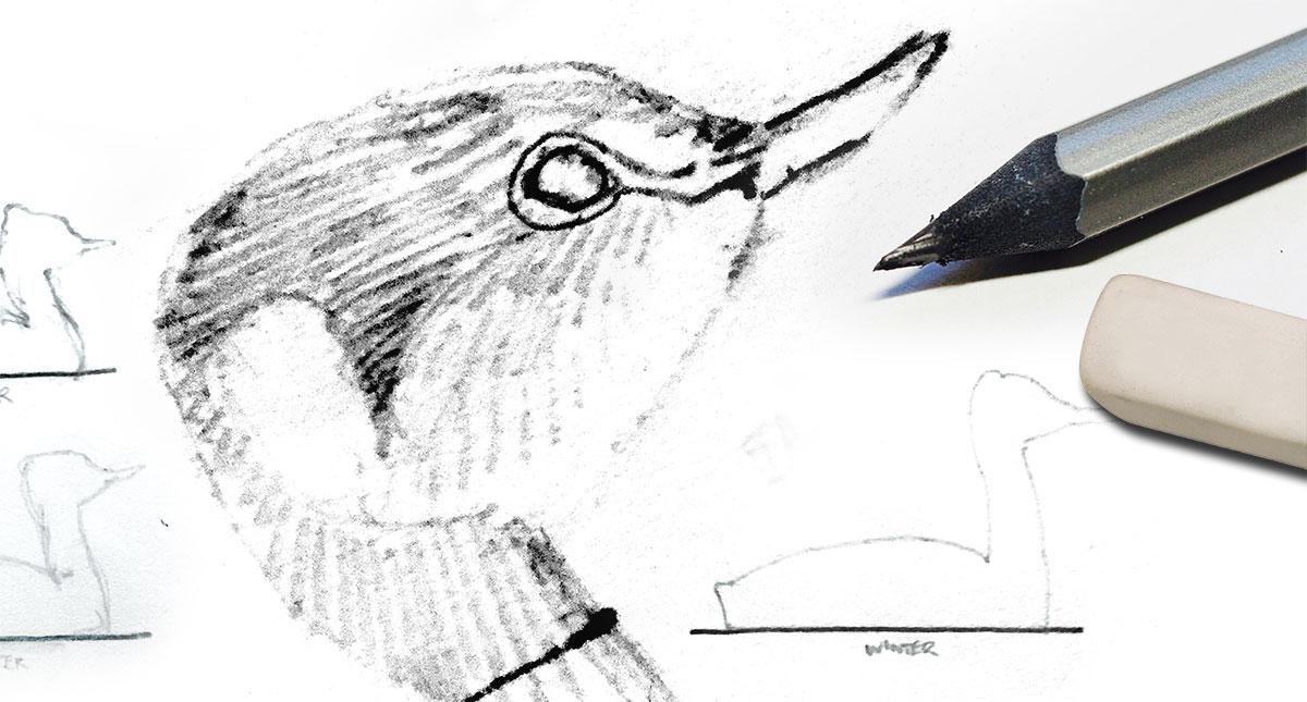 Pencil sketch of bird by David Allen Sibley with pencil and eraser
