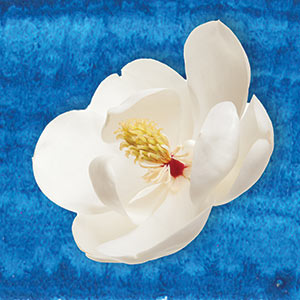 magnolia on blue background
