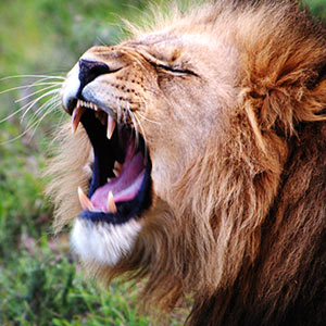 Lion with mouth open wide